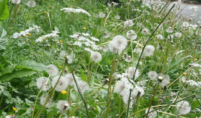 To start…the year of the dandelion…