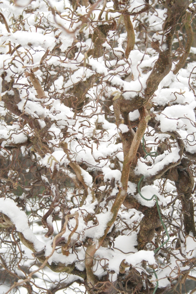Snowy Twisted Hazel