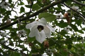 magnolia wilsonii - pendulous blossom