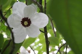 magnolia wilsonii - from below