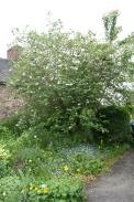 magnolia wilsonii - overall shape