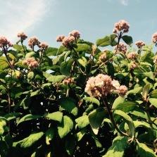 Hydrangea Aspera subs. Strigosa