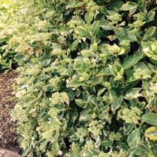 Variagated Hydrangea - possibly Hydrangea macrophylla 'Quadricolor'