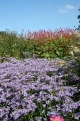 Aster and persicaria