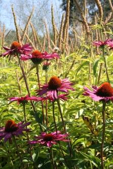 Echinacea purpurea & veronicastrum