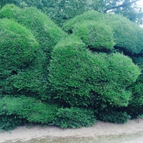 Cloud pruned yew hedges