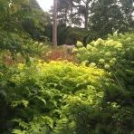 zingy lime planting -Rubus cockburnianus and Hydrangea paniculata 'limelight'