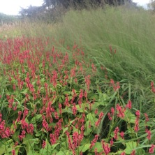 Persicaria and Miscanthus