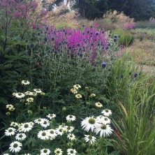 Echinacea 'White Swan', Echinops 'Veitch's Blue' with Lythrum virgatum behind