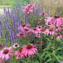 Salvia and Echinacea