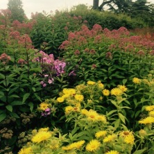 Eupatorium and Inula