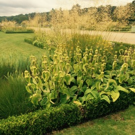 Phlomis and Stipa in beds edged with low box hedging