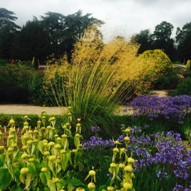 Stipa with yellow phlomis & agapanthus