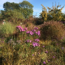 contrasting miscanthus and asters