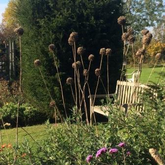 alliums - dry seedheads