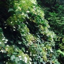 shade loving hydrangea pteolaris