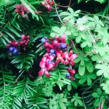 Tropaeolum speciosum