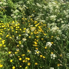 dandelions, buttercups and cow parsley