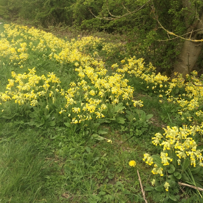 cowslips make a brilliant show - later in the season other plants will take over visually